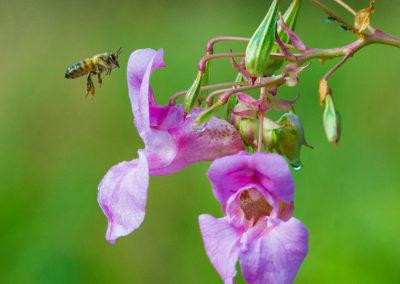 Nature-Insectes-0106_balsamyne-2