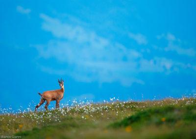 Nature-Mammif_res-DEL_BIANCO_Gianni_001_chamois_AL3I0509-2