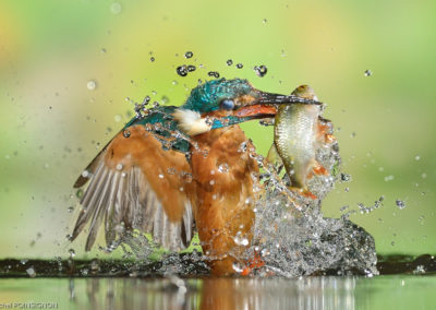 Nature-Oiseau-0093_Martin-p_cheur_p_che_05_ph-2