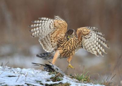 Nature-Oiseau-0106_Autour_des_Palombes-2