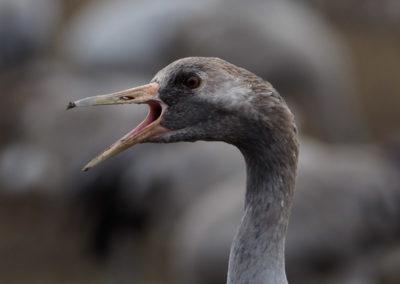 Nature-Oiseau-0167_Grus_grus-13-2