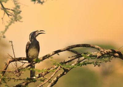 Nature-Oiseau-0168_Calao_femelle-TLA6934-1-2