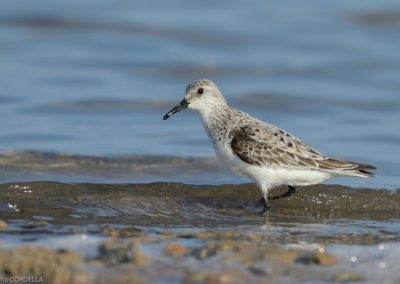 Nature-Oiseau-0224-B_casseau_sanderling_5411_01-2