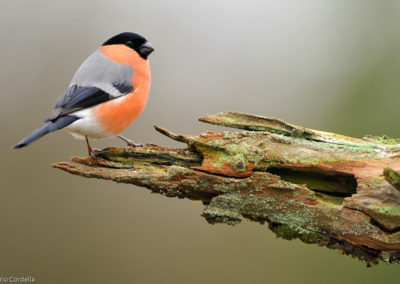 Nature-Oiseau-0224-Bouvreuil_pivoine_9748-2