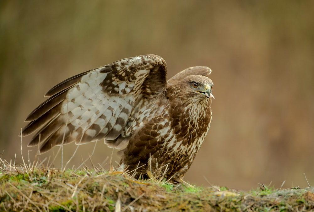 Formation à la prise de vue animalière : oiseaux, mammifères, par Toni Lessa